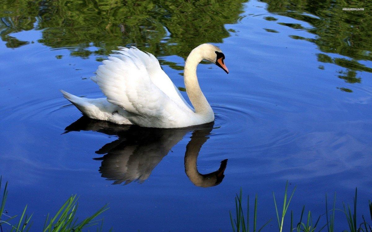 наши картинки необычных лебедей первый