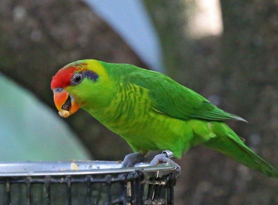 смотреть картинки попугаев всех видов вариантом для межкомнатного