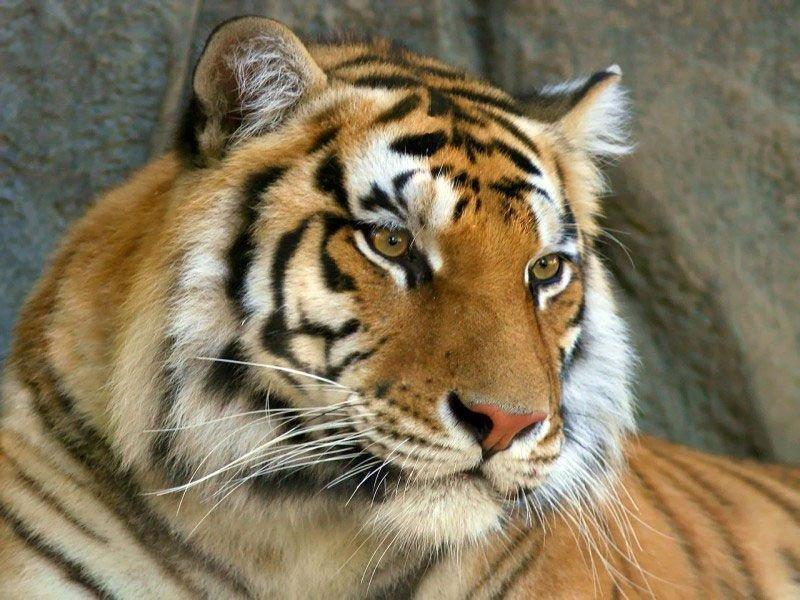 Красавец амурский тигр