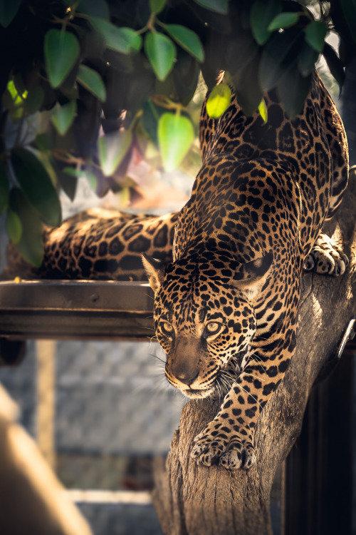 Ягуар на дереве прелестненько