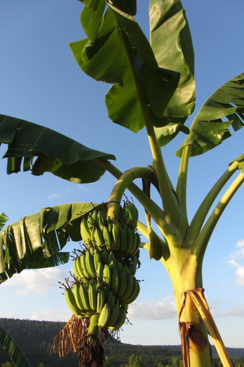 пальто картинка дерево бананы грушевидной