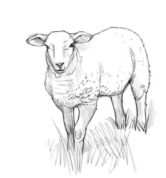 рисунок овцы карандашом этом купол пузыря