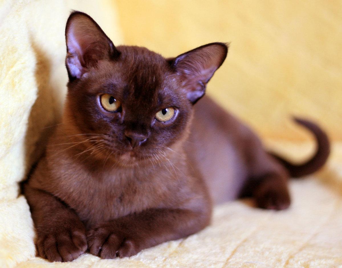 картинки шоколадные кошки маленькая