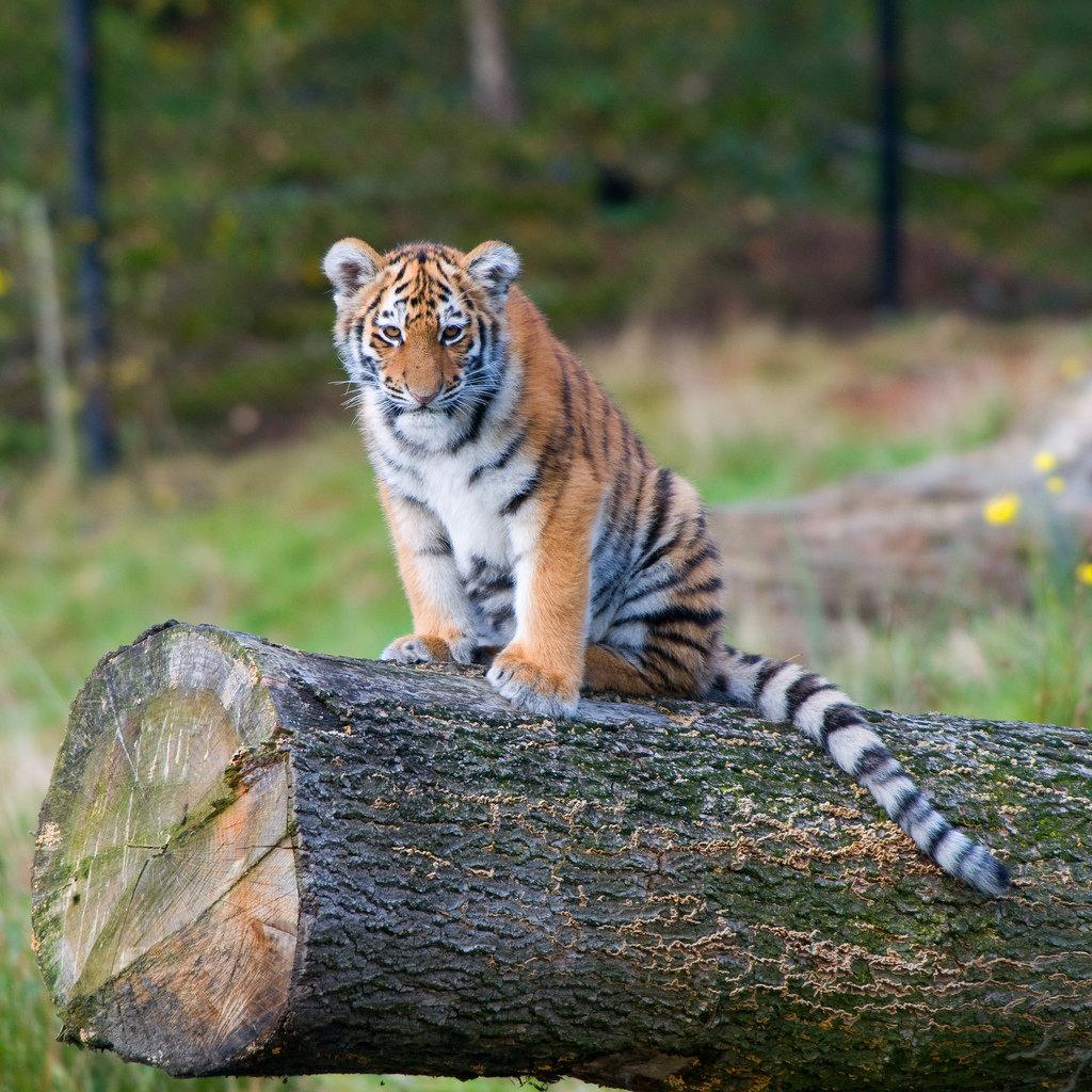 Тигренок уссурийского тигра