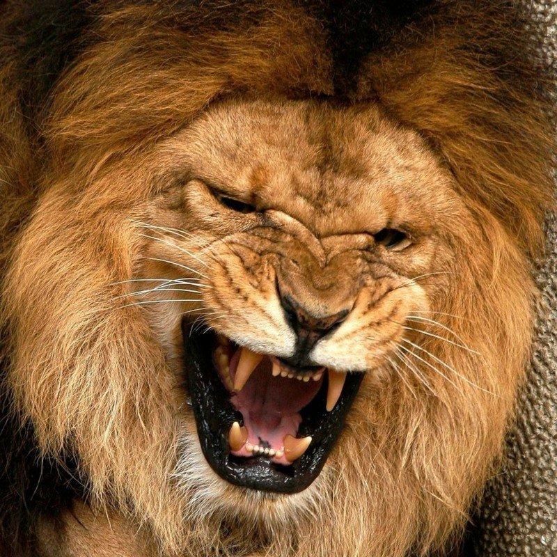 Львиный оскал
