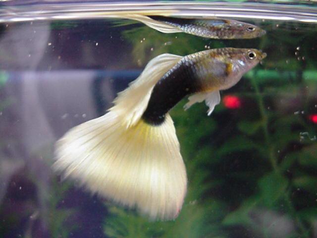 Рыбки гуппи условия содержания