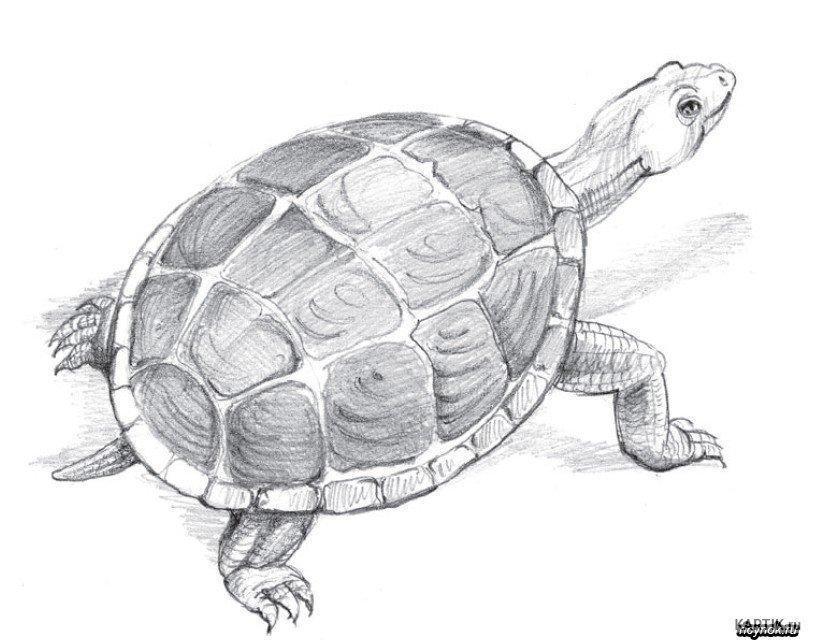 Фото памелы андерсон с черепахой за спиной старых