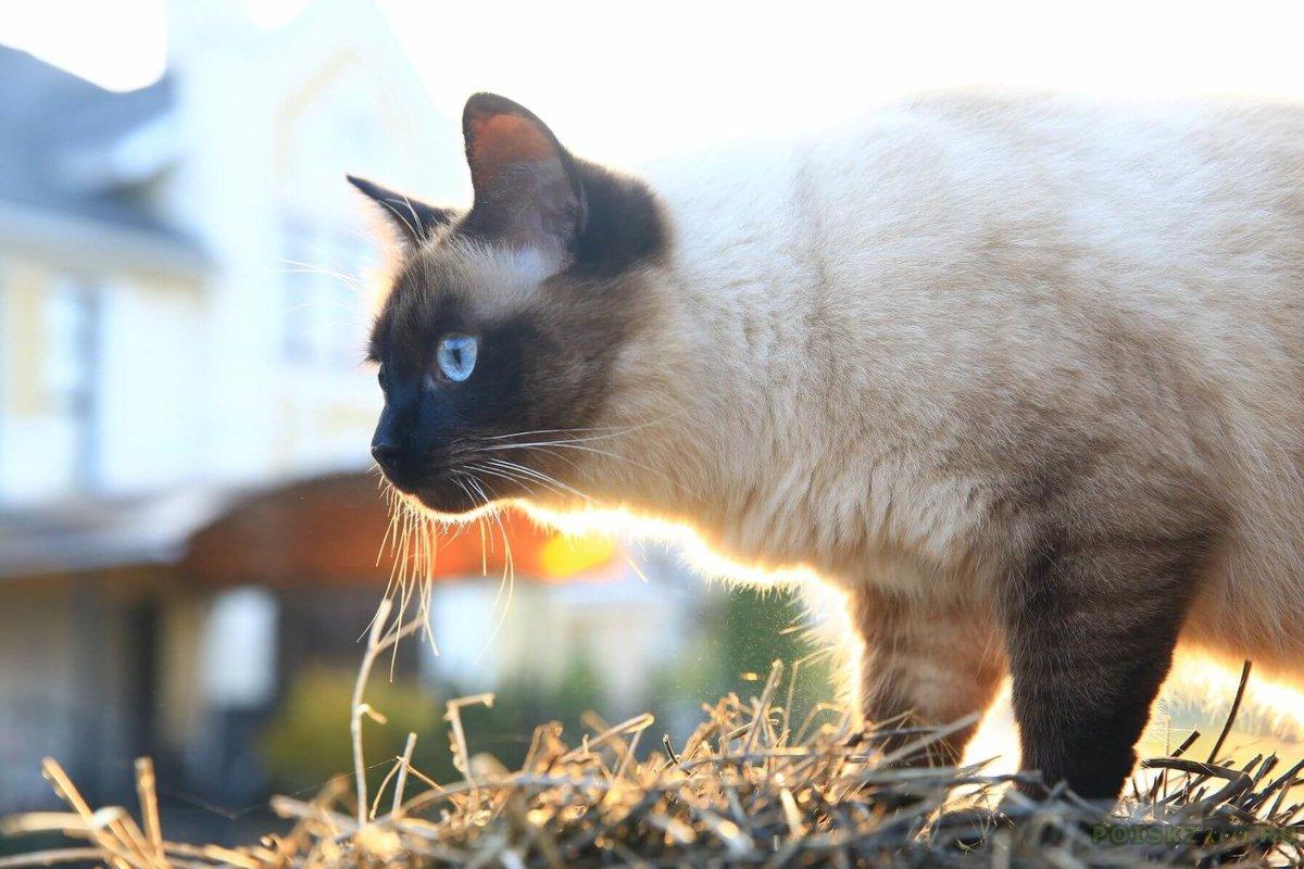 отходы коты сибирская бирма была известной