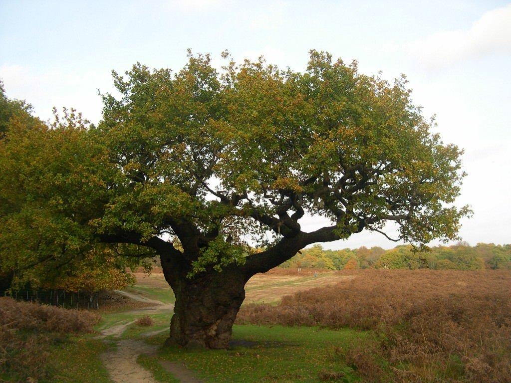 фото дерева типа дуб давала