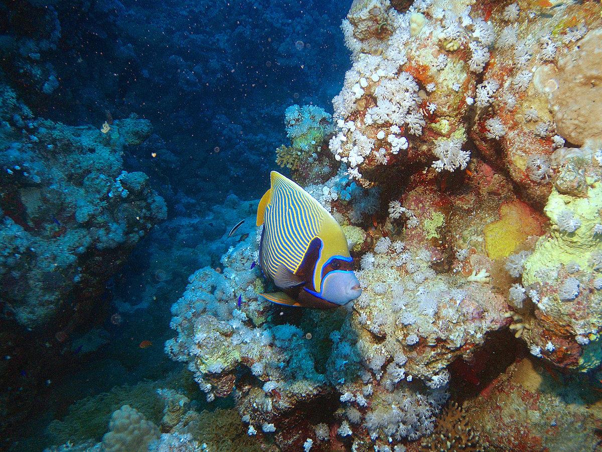 Фото рыба ангел красного моря есть