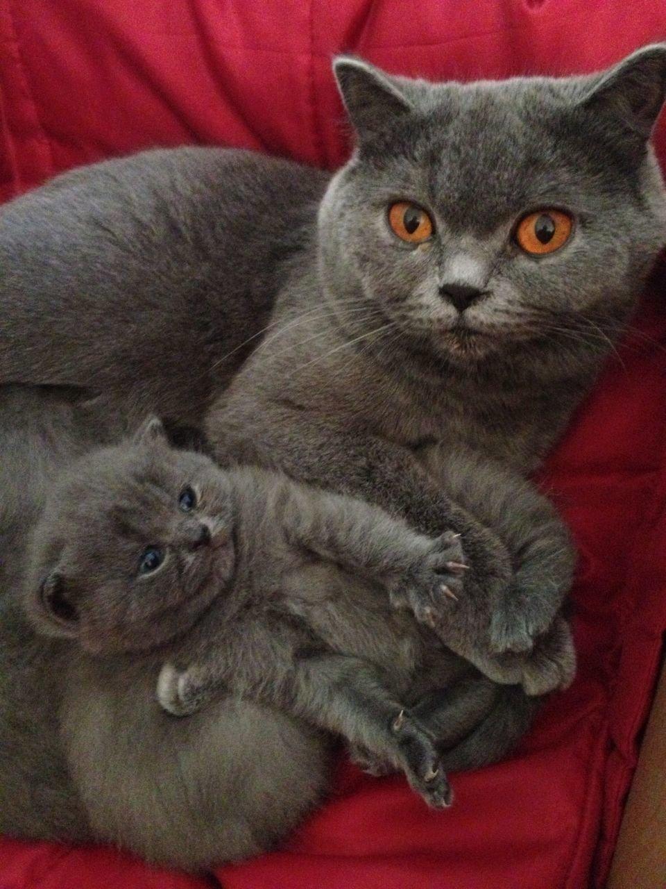британские кошки коты и котята показать фотографии отделки потолка