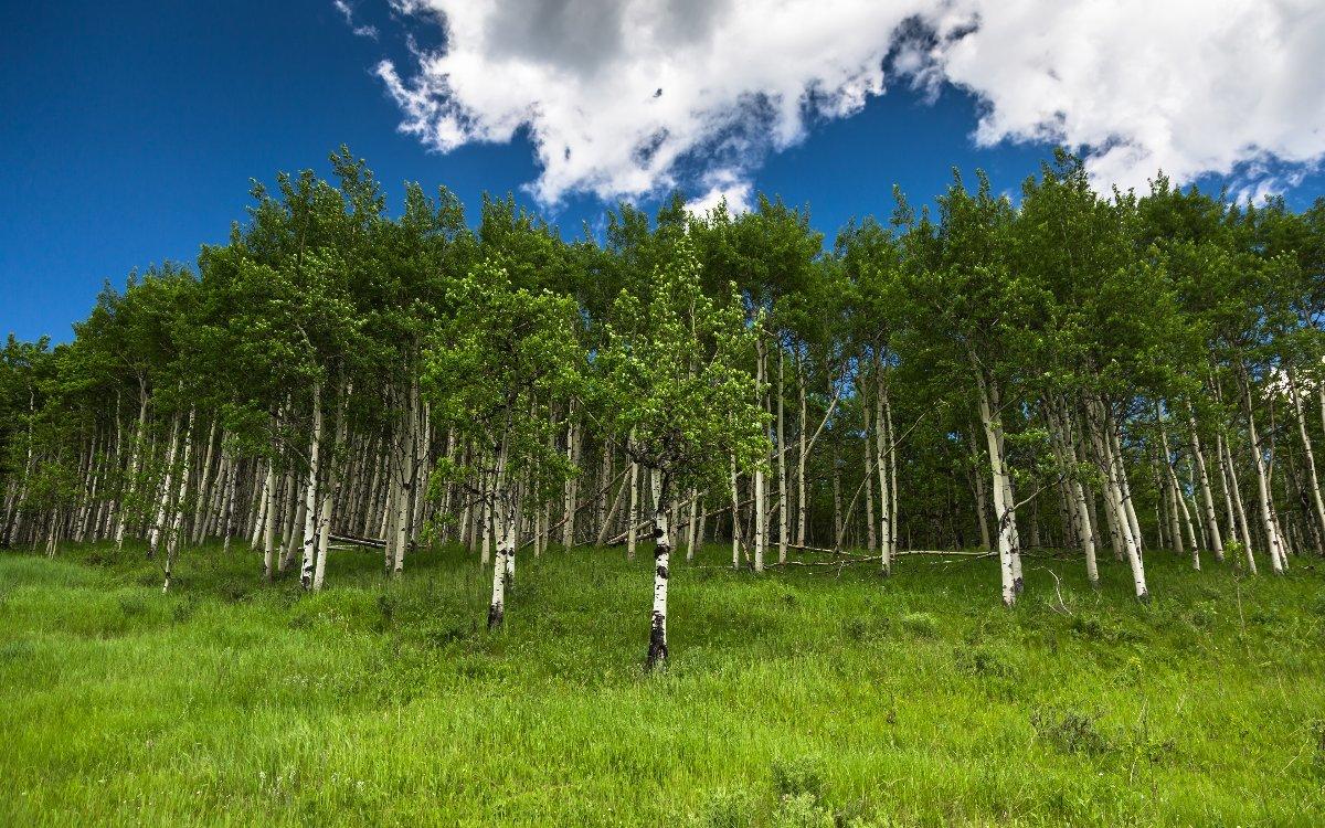 Картинки березовый лес