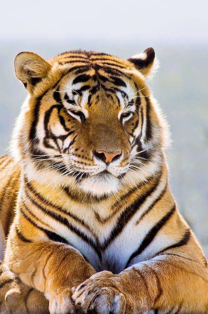 Не каждый зверь может осилить амурского тигра