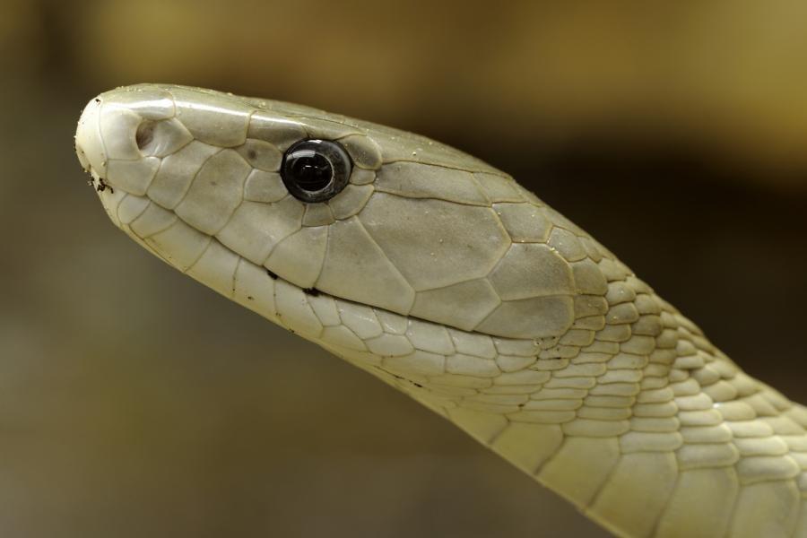 Скорость Змеи Мамба