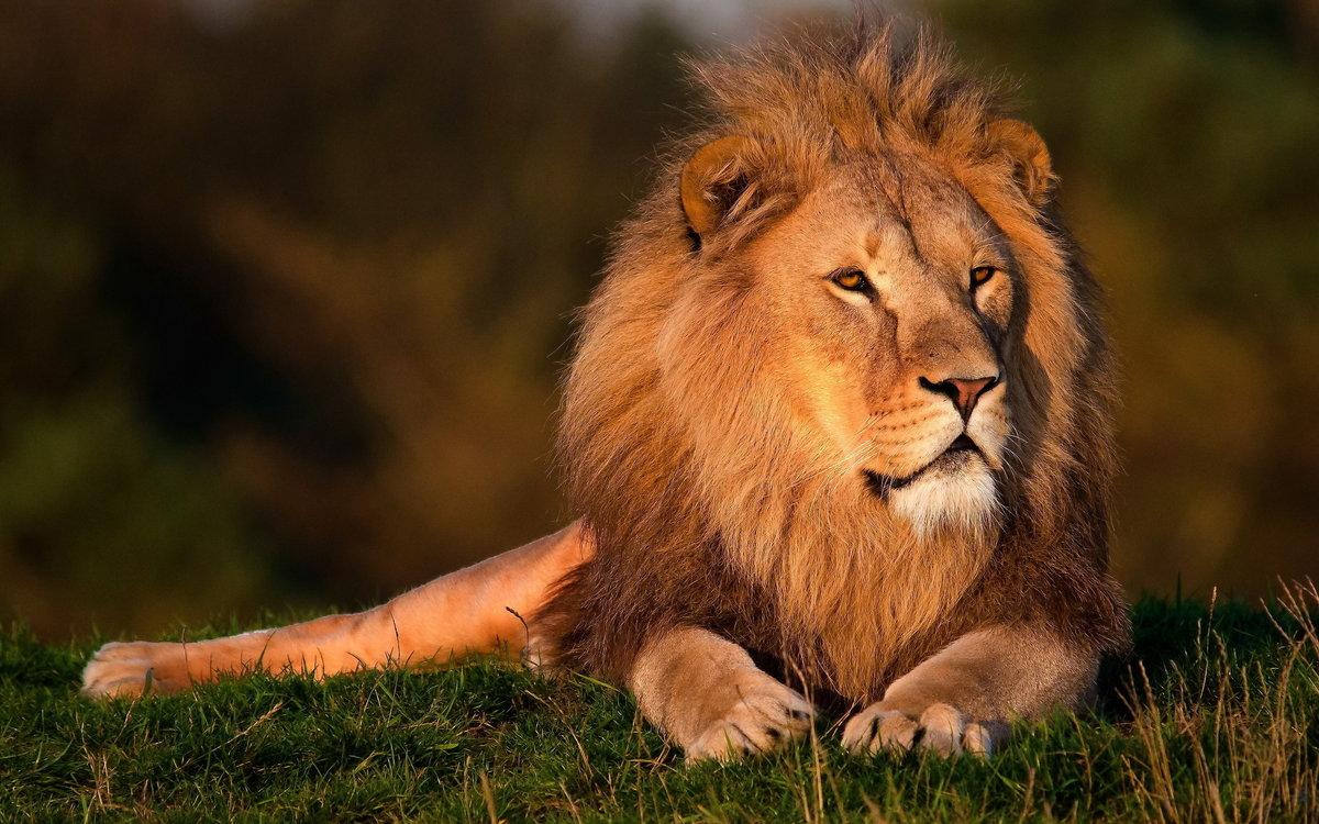 Открытка лев царь зверей, днем