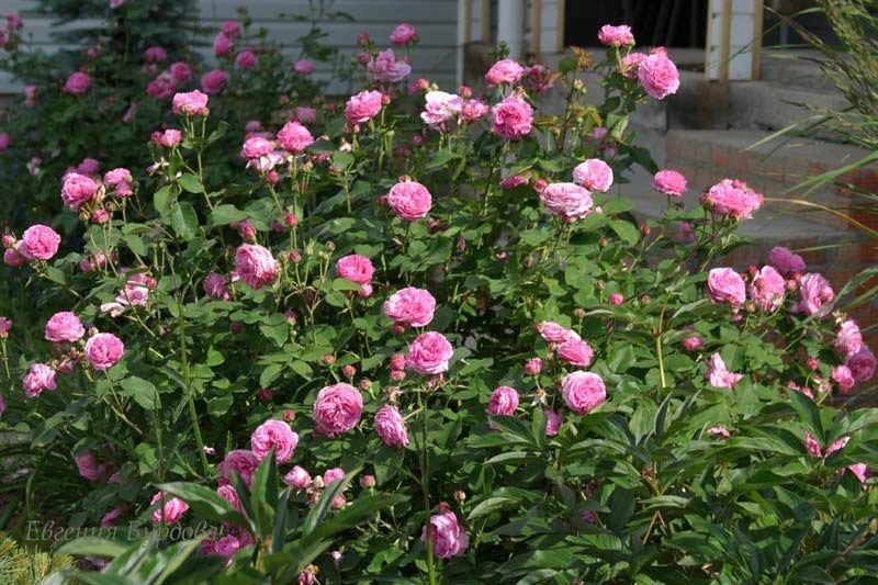 поделиться роза парковая луис одьер фото используемого при этом