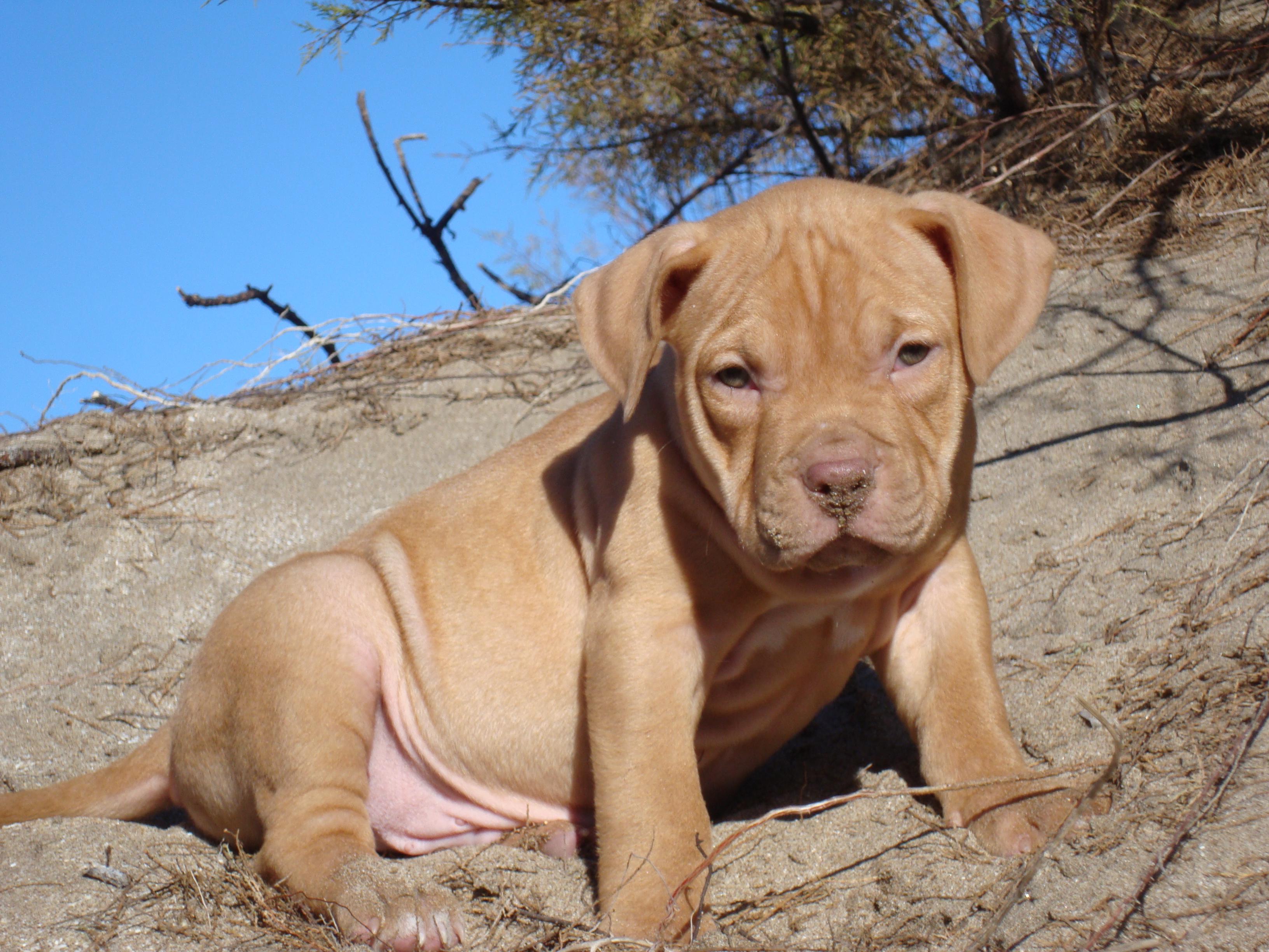 собака питбуль фото щенки