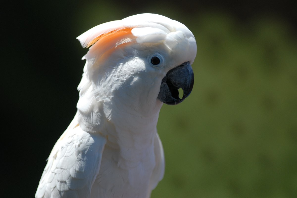 cockatoo-ridge-mcnaught