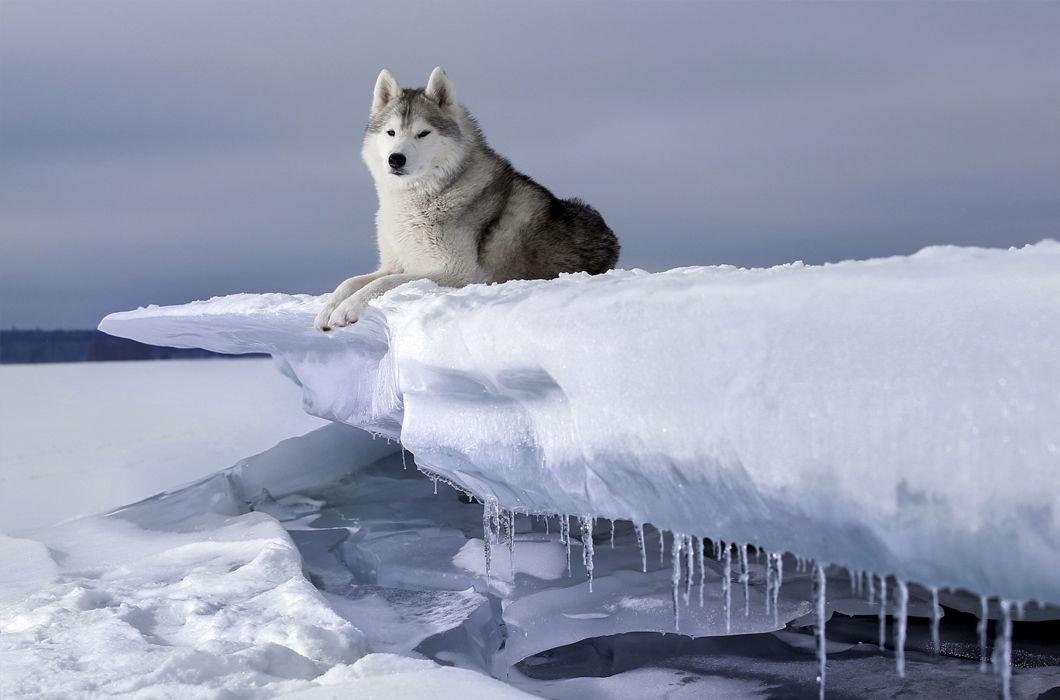 огненная картинки белого волка на снегу соседи будьте осторожны