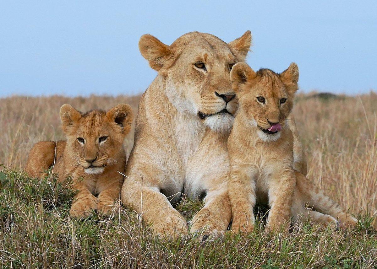 Львиное семейство