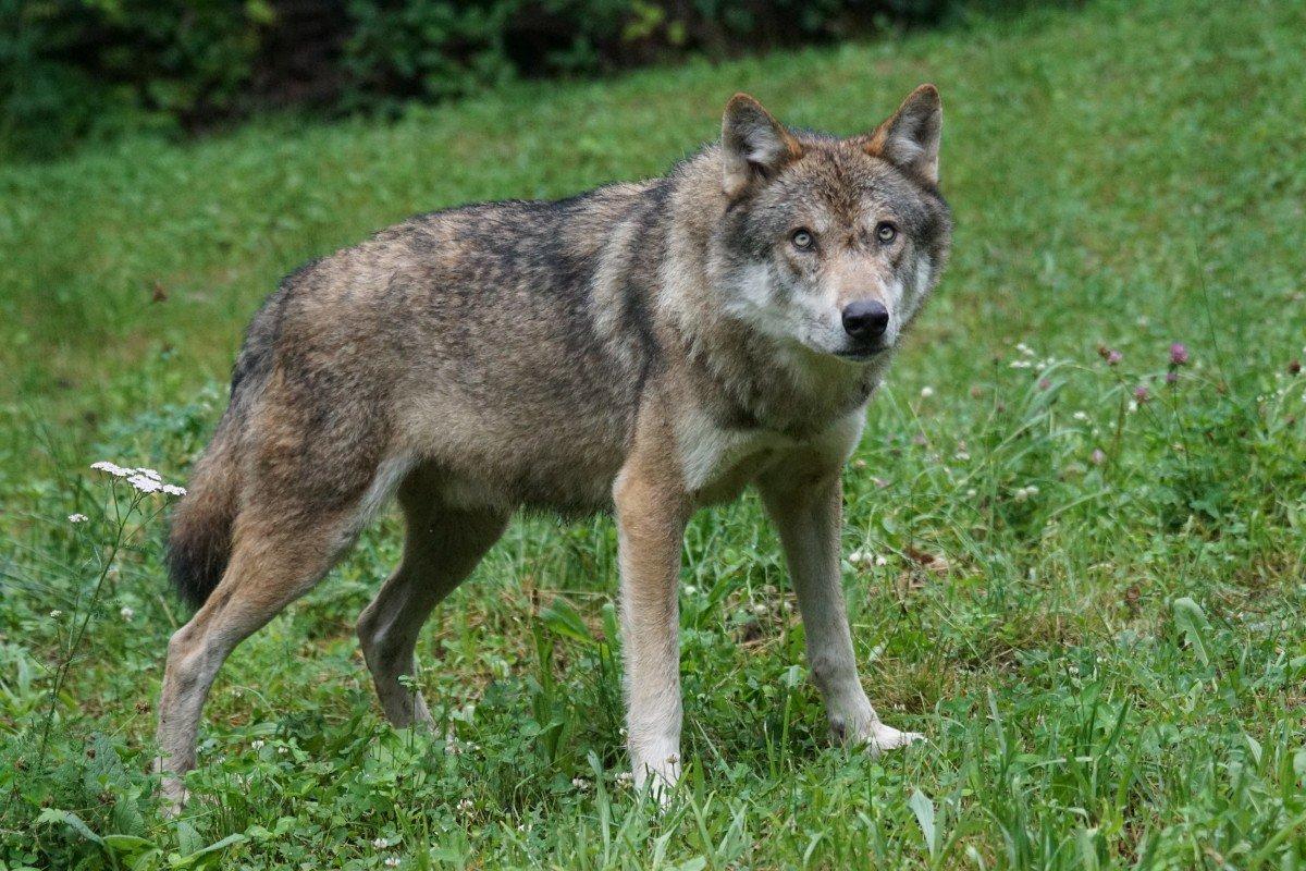 Картинки о волке для детей