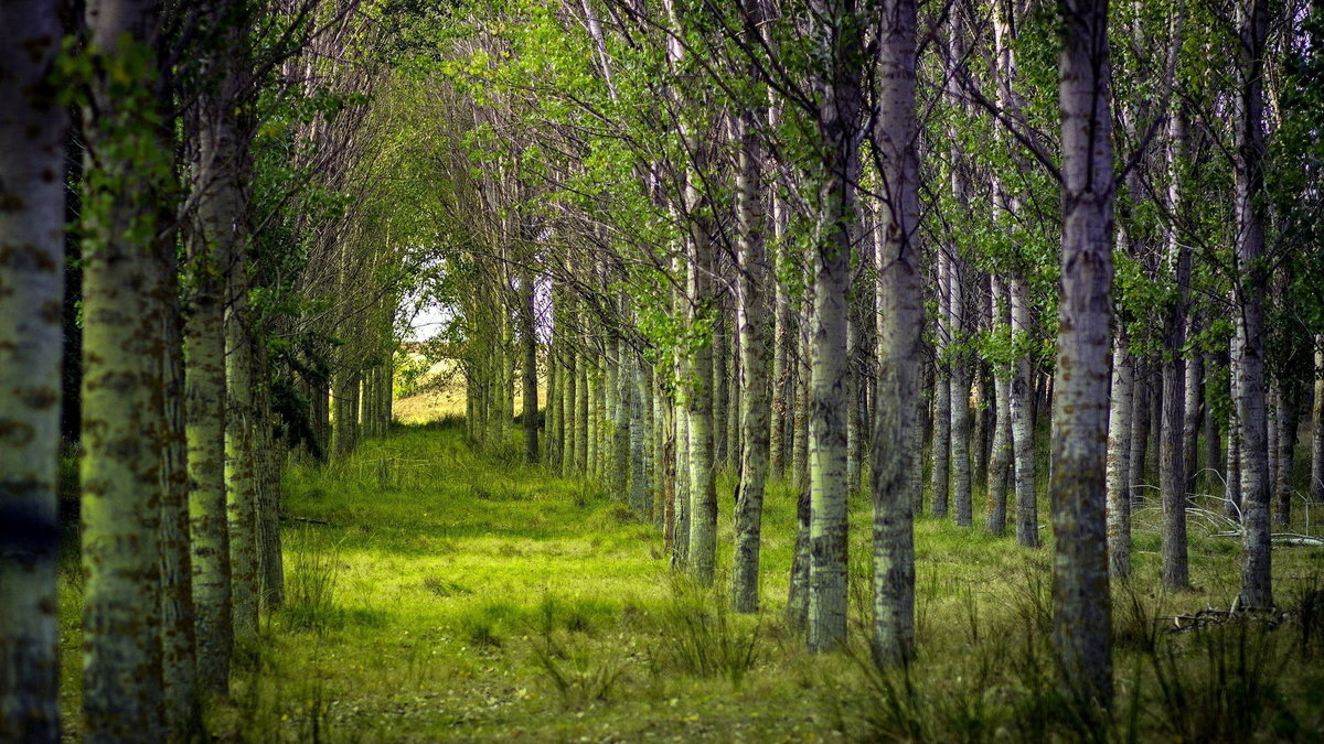 Лес березы