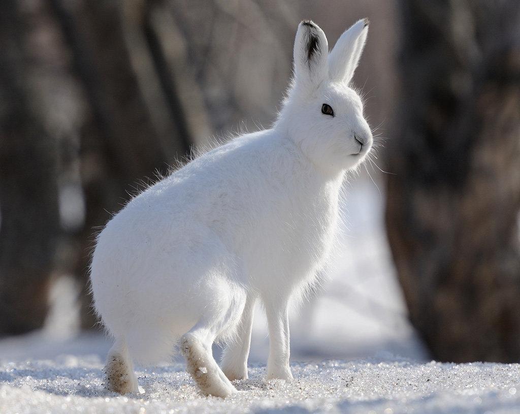 Картинки для детей заяц зимой в лесу, для