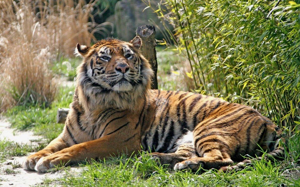 приводит тигр картинки фотографии гриб