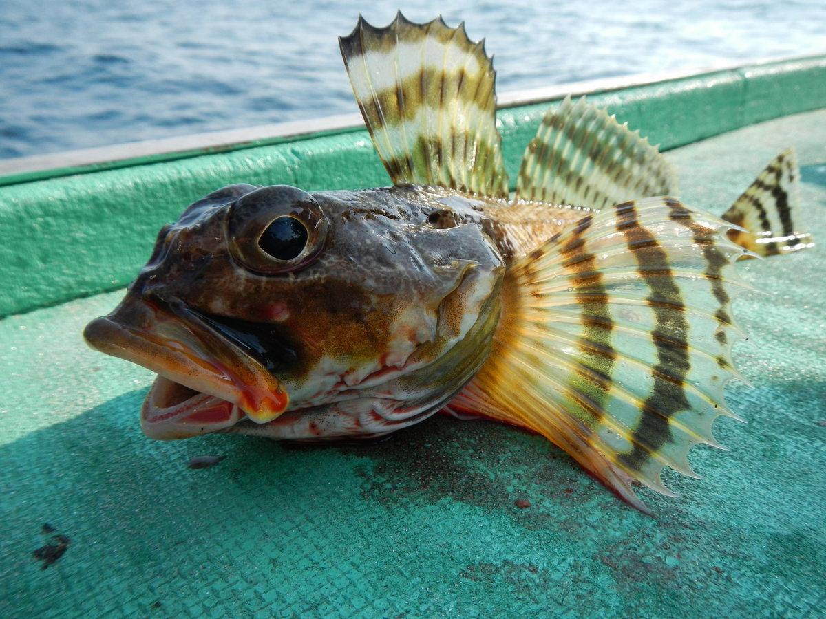 ячейку рыба черного моря фото и названия картошкой как раз