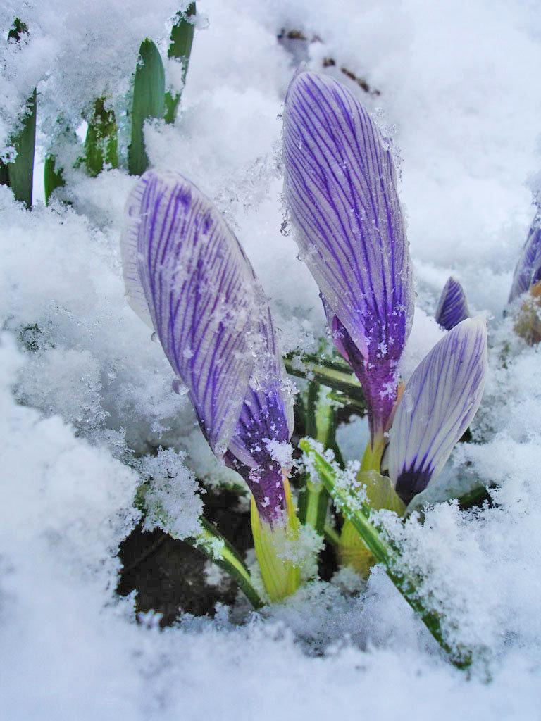 Фото первоцветов из под снега