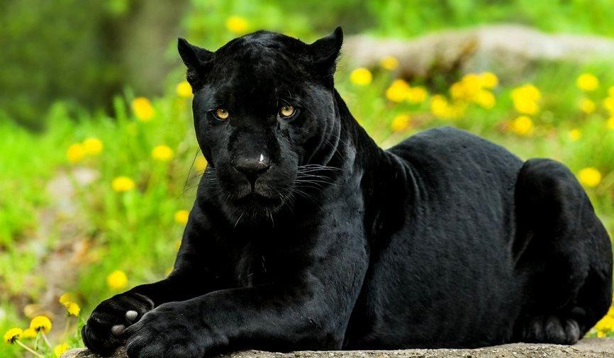 некоторые все фото черный ягуар лежит мэдисон