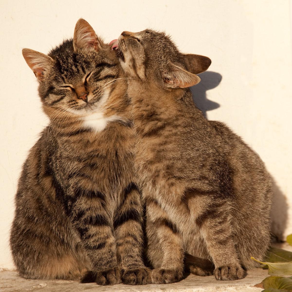 Картинки про любовь кошки