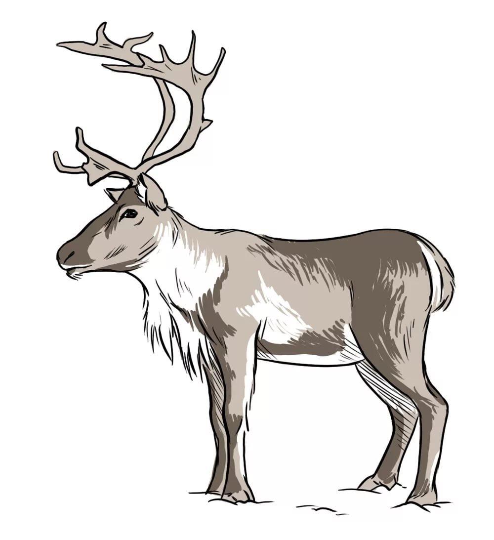 к-рые используются северный олень как нарисовать картинки чувственный букет гербер