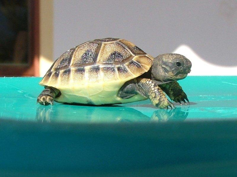 Картинки балканской черепахи