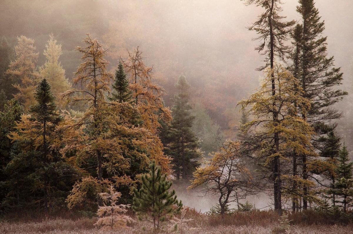 Хвойный осенний лес