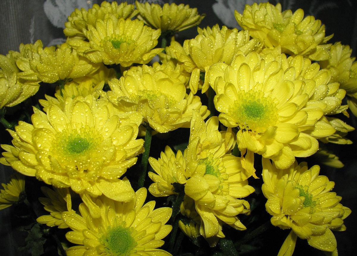 Желтые хризантемы картинки, франко