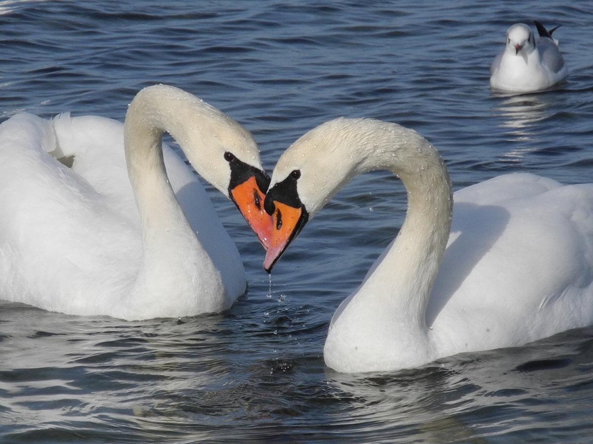 Красивые картинки с лебедями о любви, для любимой