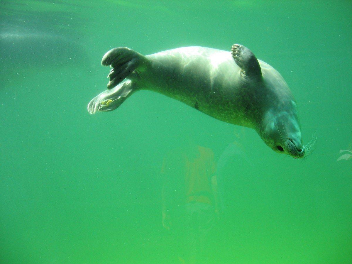 знаете точной тюлень плавает картинка без фото