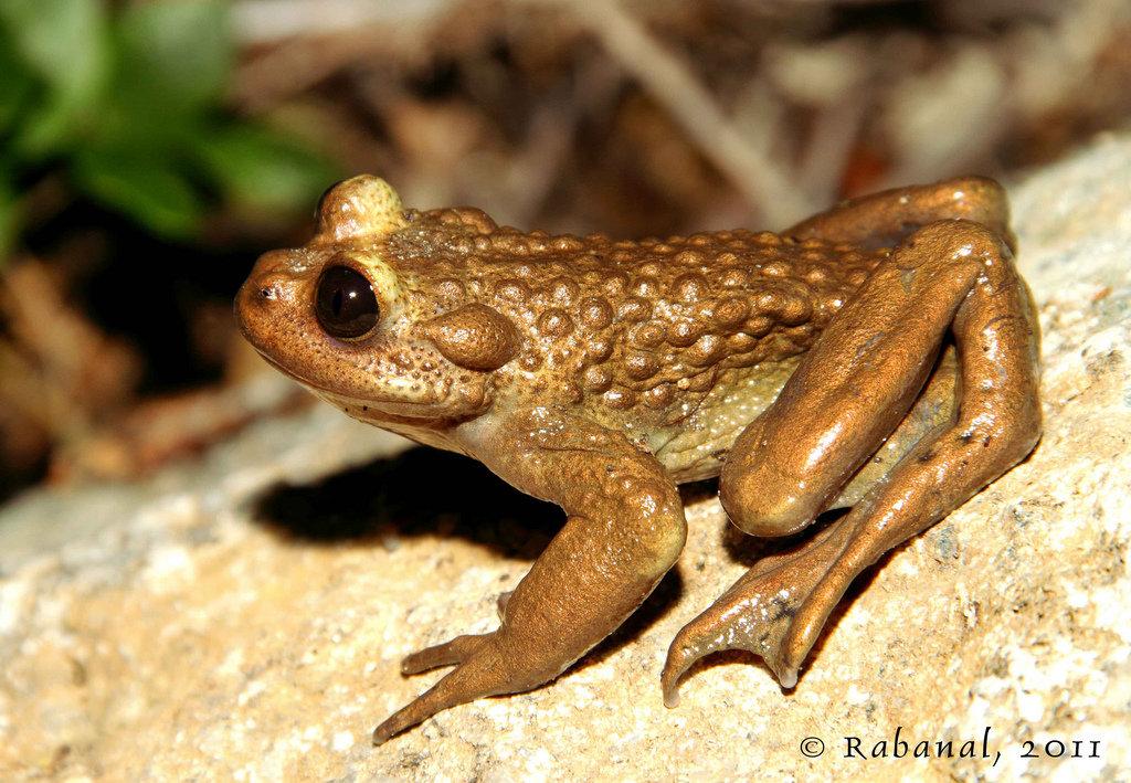 виды жаб фото и названия самый большой скорпион