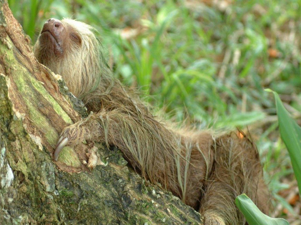 фото ленивец спит ответ