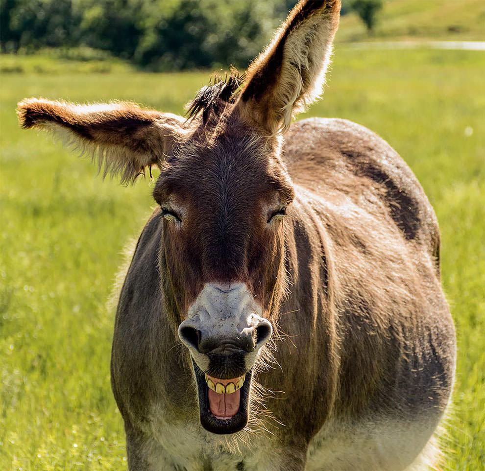 Картинка смешная осла