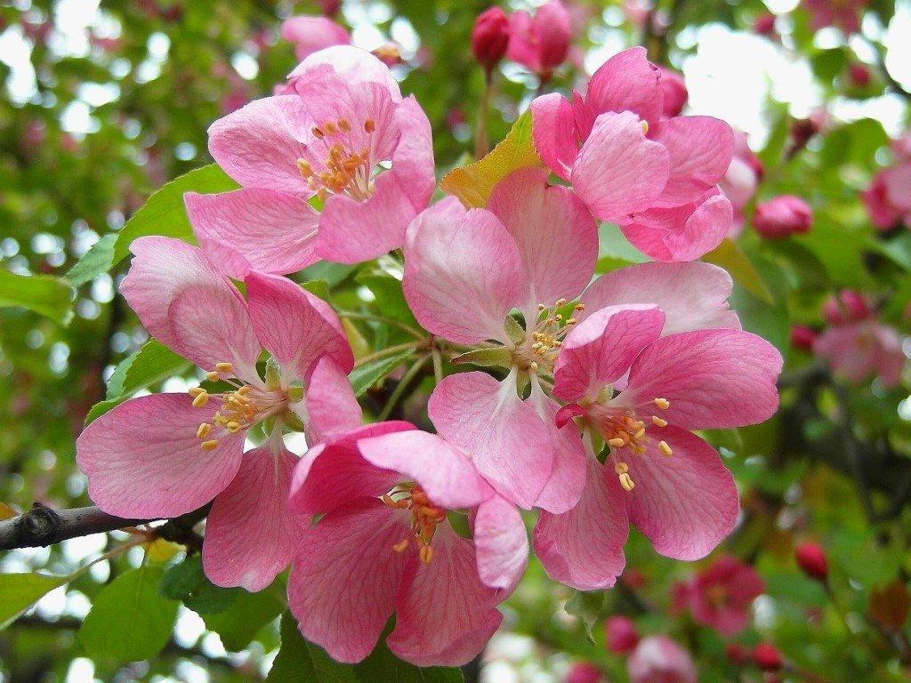 Цветущая яблоня картинки, днем геологов обалдеть