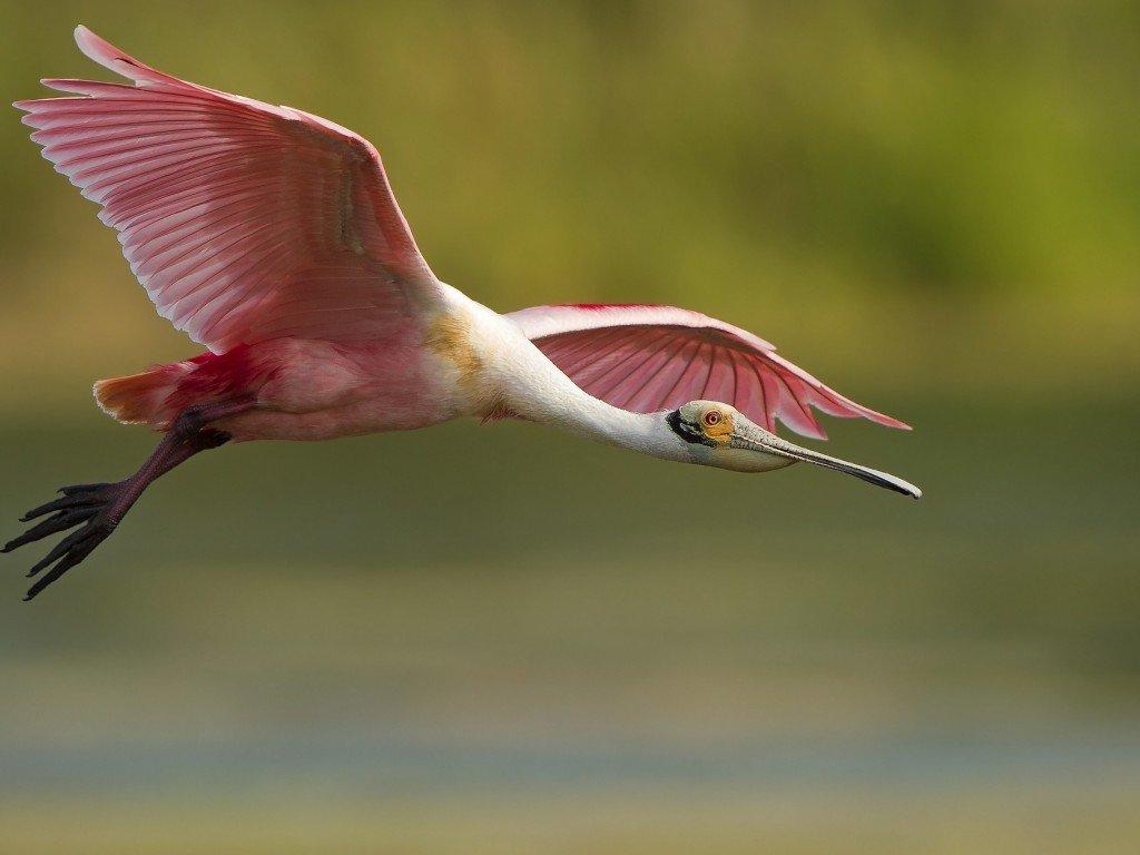 картинки фламинго который летит
