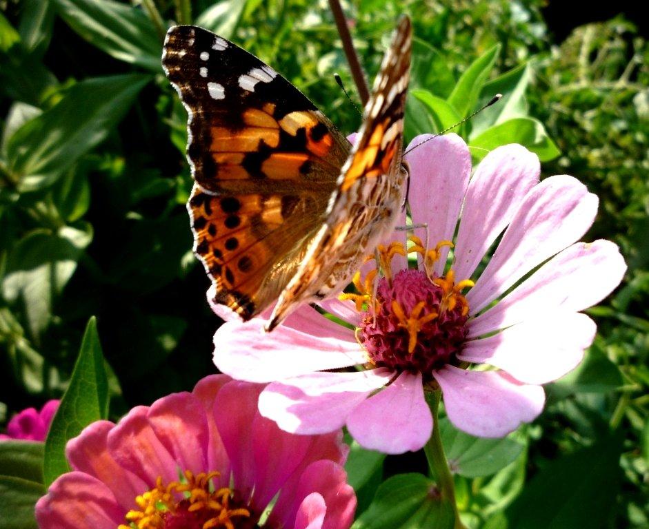 Картинка лето бабочки цветы