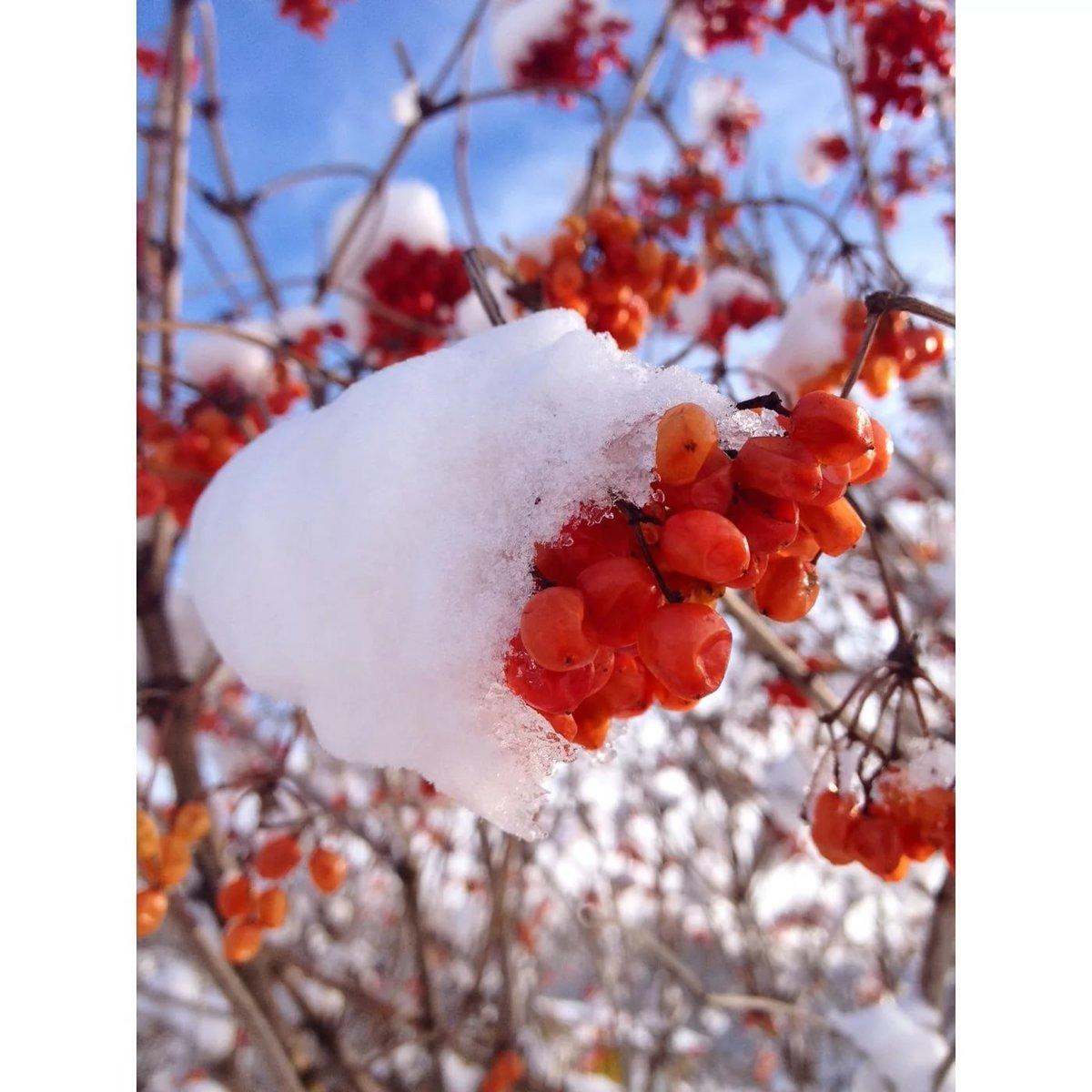 картинки с рябиной вот и зима тех, кто
