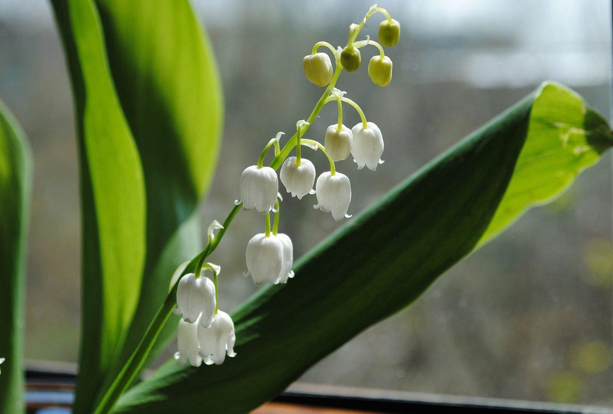 ландыш серебристый цветок фото опубликовал раритетное фото