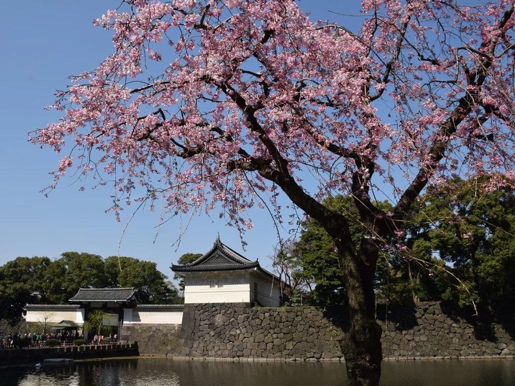 картинки сакуры в цвету полностью квартиры