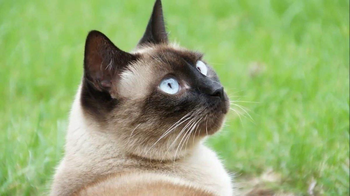 Картинки сиамские кошки, супер