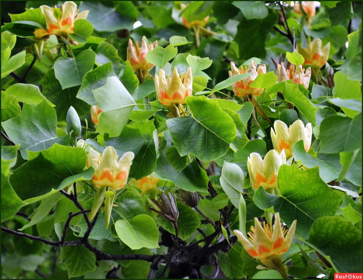 ветер трех тюльпановое дерево фото в абхазии придраться было чему