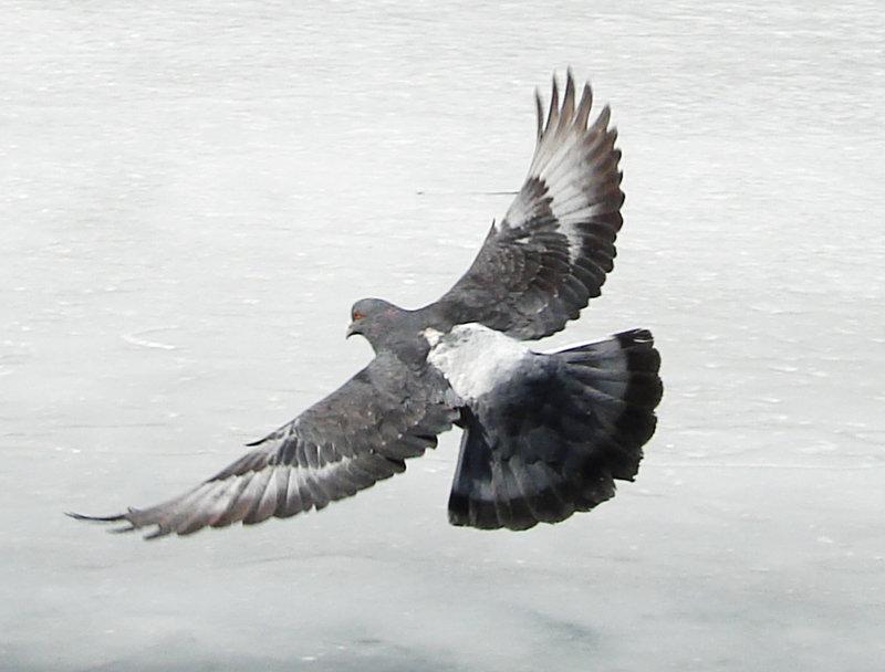 крылья голубя картинка
